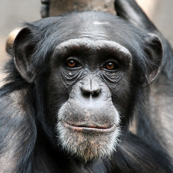 Chimps Of Mahale and Gombe